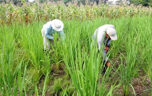 Fríjol, arroz y maíz elevan costo de la canasta familiar