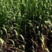 Se suspende 90% de la cosecha de caña por invierno en Colombia